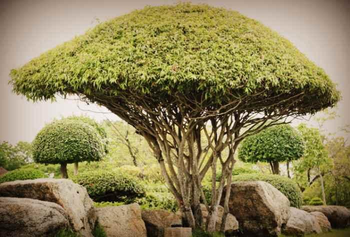 Как выглядит эбеновое дерево